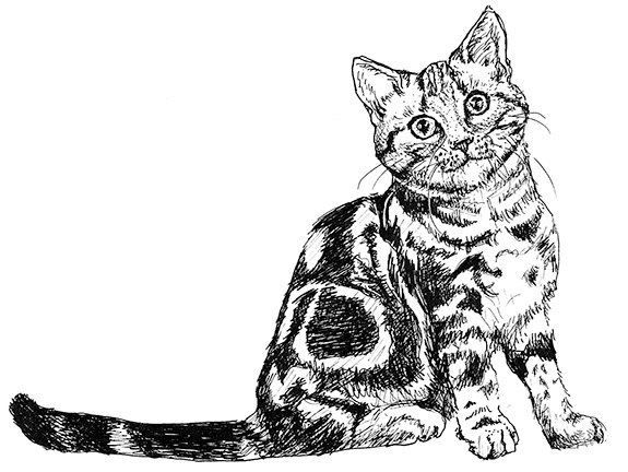 Cat clip art realistic. American shorthair illustration black