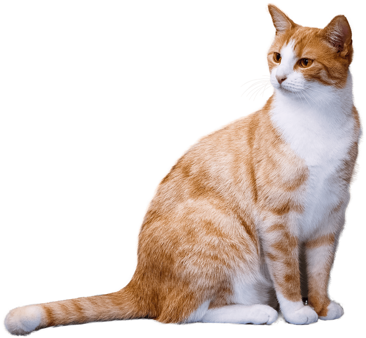 Ginger transparent stickpng animals. Cat png graphic free