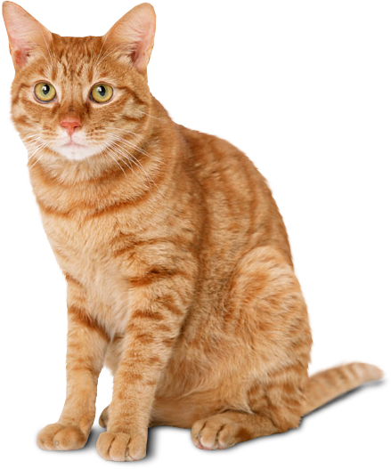 Cat png. Transparent free images only