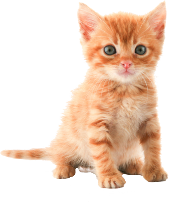 Cat png image. Id photo with transparent
