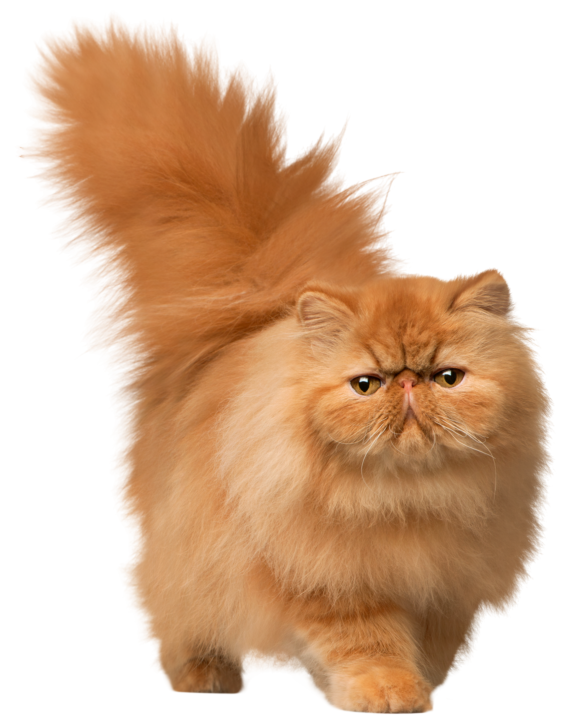 Cat png image. Cats free images download