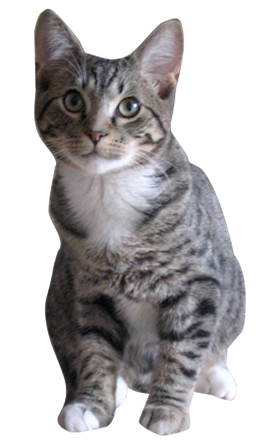 Cat stripes png. Grey tabby cards birthday