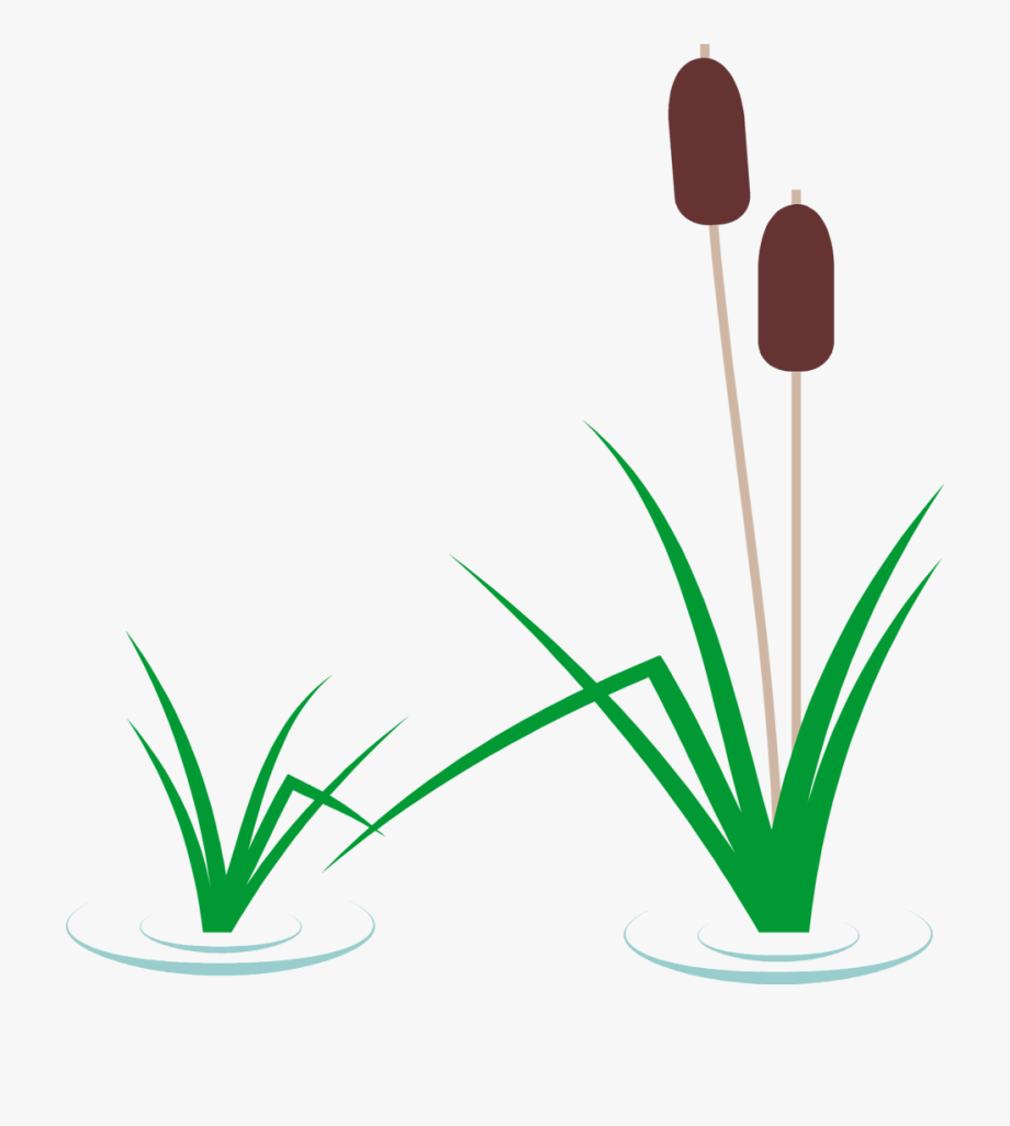 Cat tail. Cattails in pond clipart