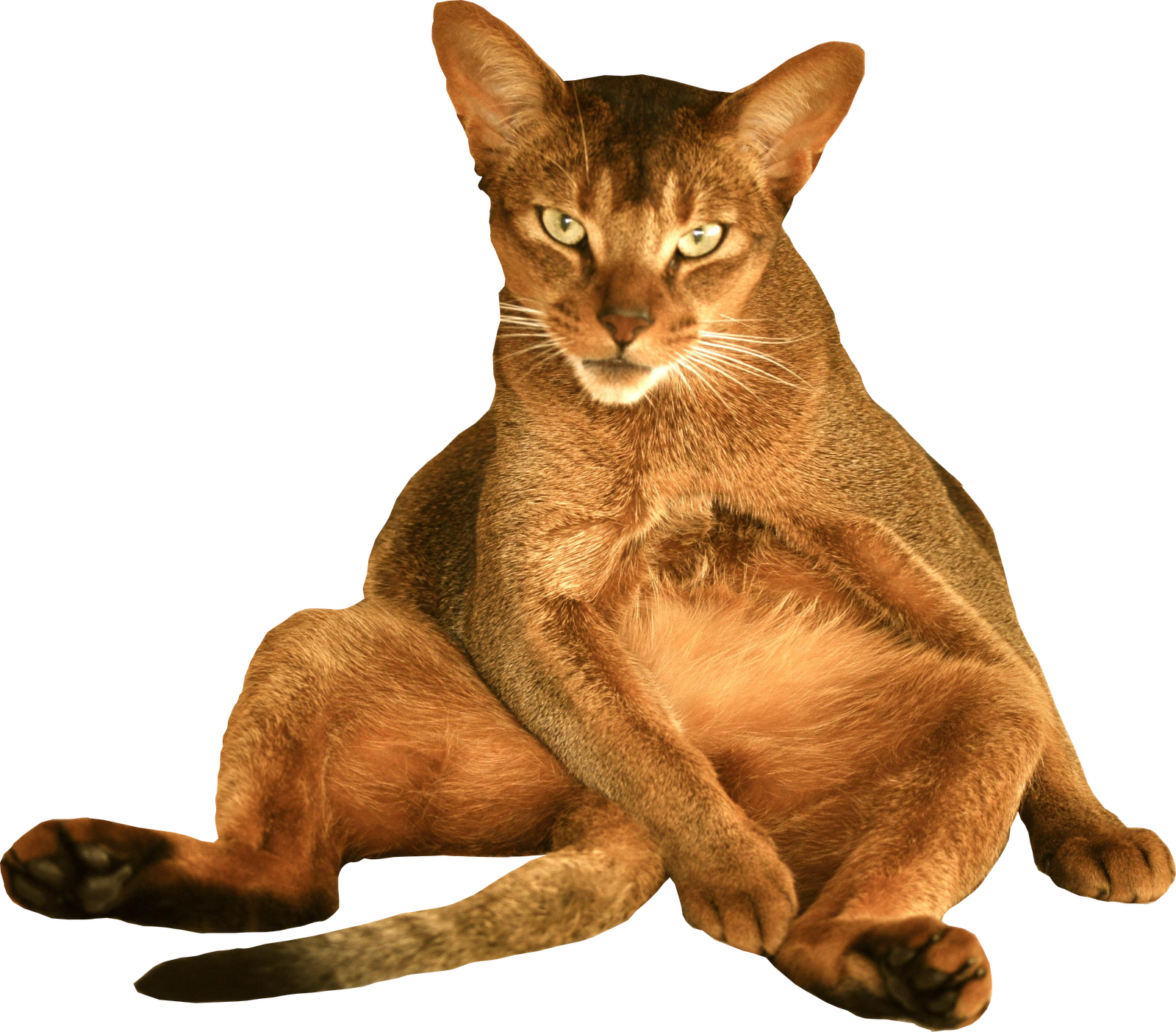 Kitty transparent bg. Cat png pictures free