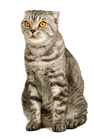Kitty transparent bg. Cat image id png