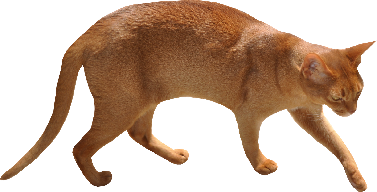 Cat walking png. Free images and arching