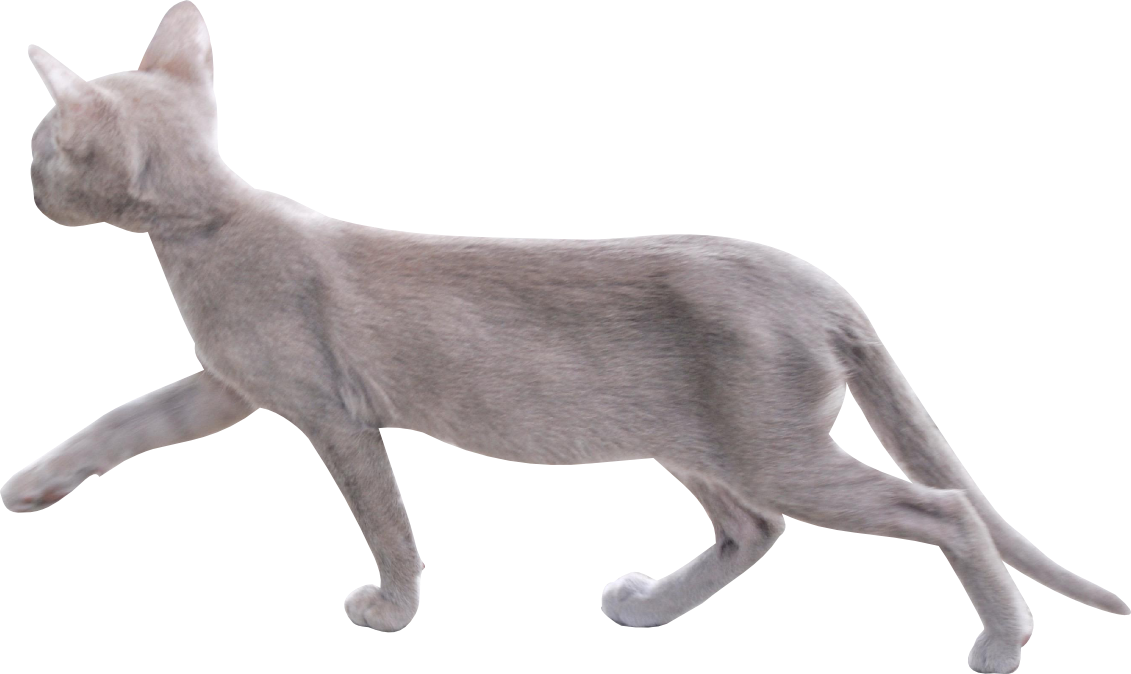 Cat walking png. Free cut out with