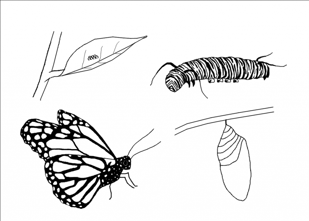 Caterpillar clipart butterfly cycle clipart. Life of a