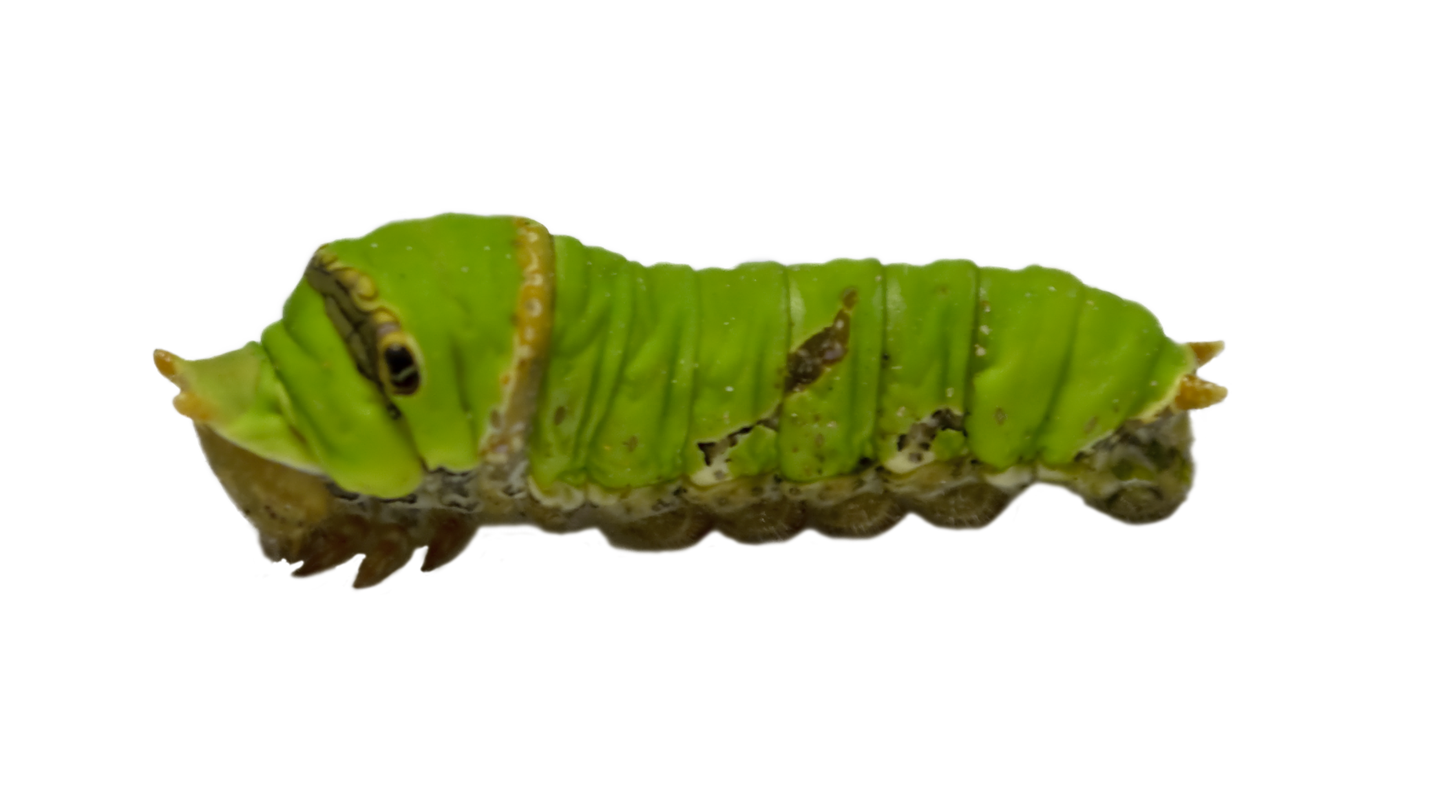 caterpillar transparent