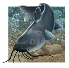 Catfish clipart blue catfish. Learn how to draw