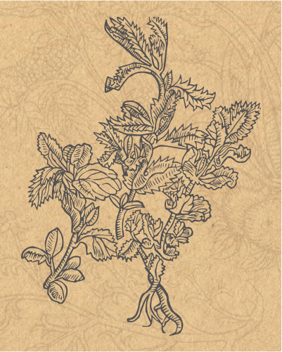 Peppermint drawing oregano. Jean marie s garden