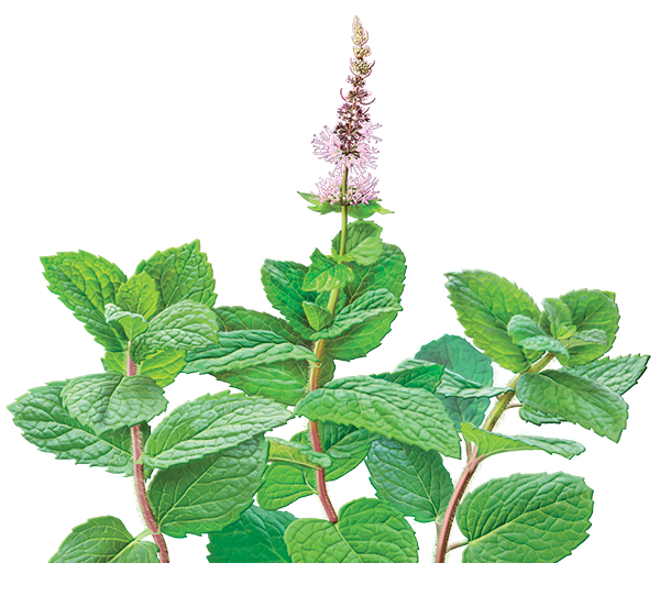Catnip drawing plant. Spearmint illustration mentha picata