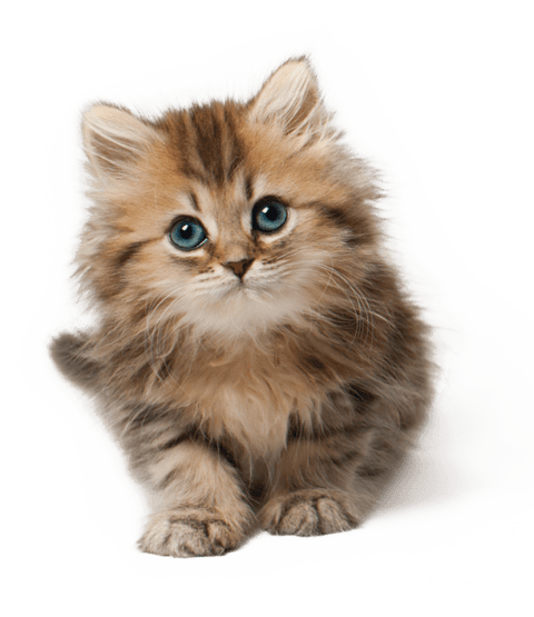 Cats baby png. Cute cat kitten free