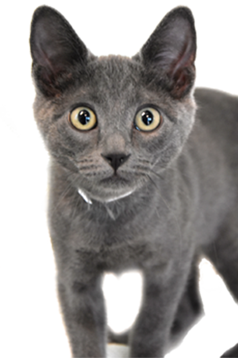 Kittens transparent gray. Cat care society adoptions