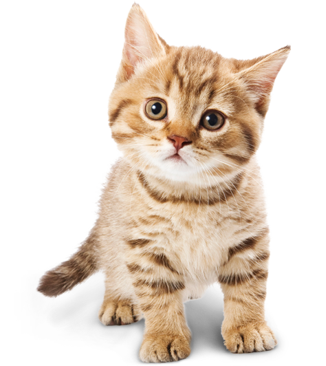 Cute cats png. Cat transparent pictures free