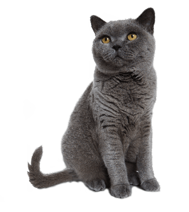 Grey cat sitting transparent background image