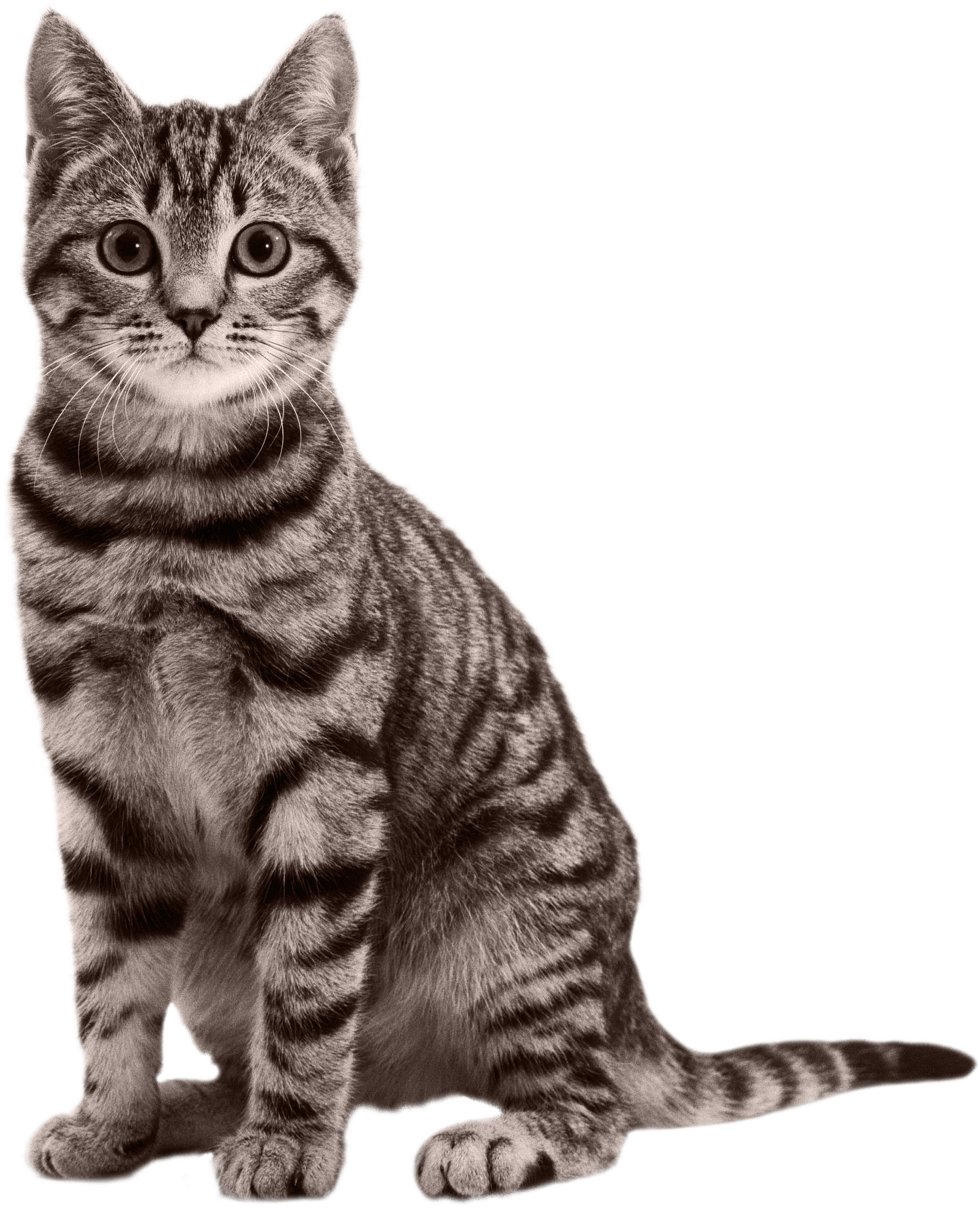 Png transparent free images. Cat clip art real banner library library