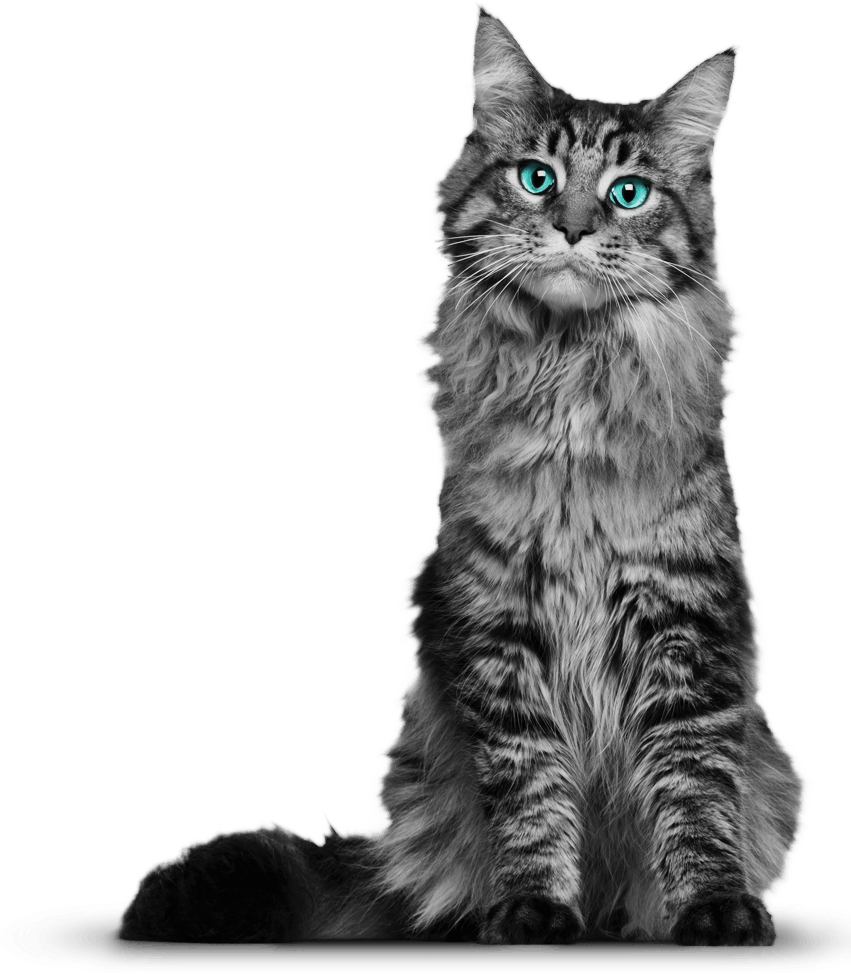 Cats image white background png. Free images download cat