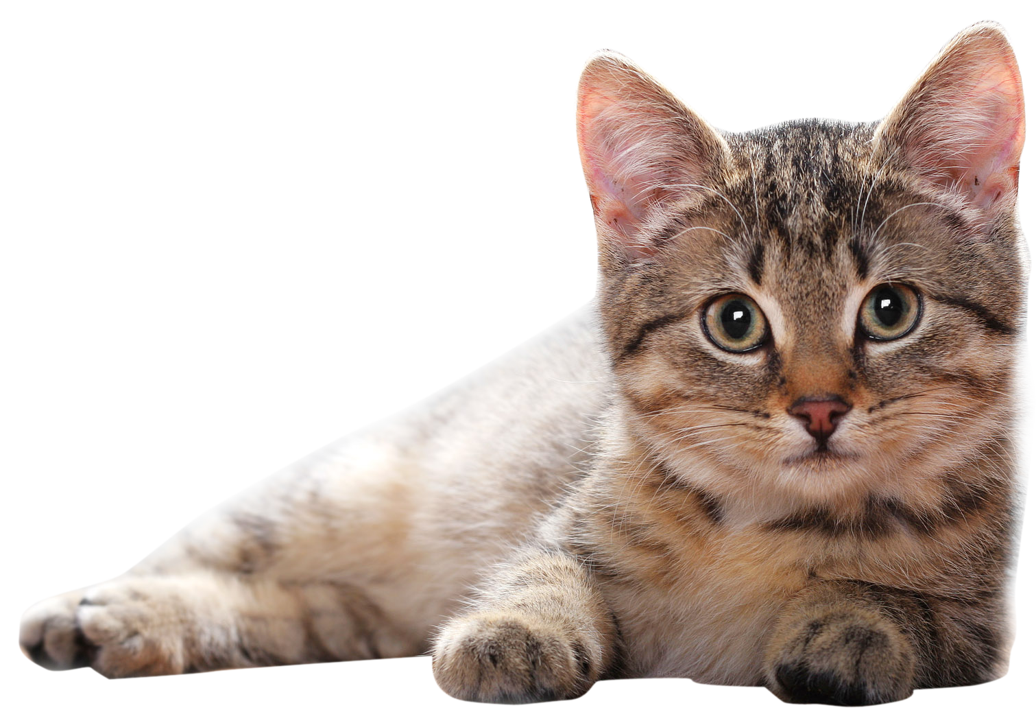 Cute cats png. Free images download cat