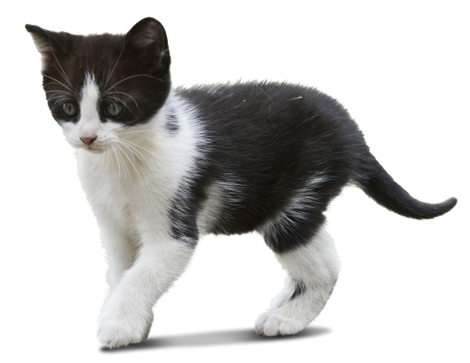 Cat walking png. Cut out kitty architecture