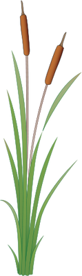 Cattails vector. Index of ress tice