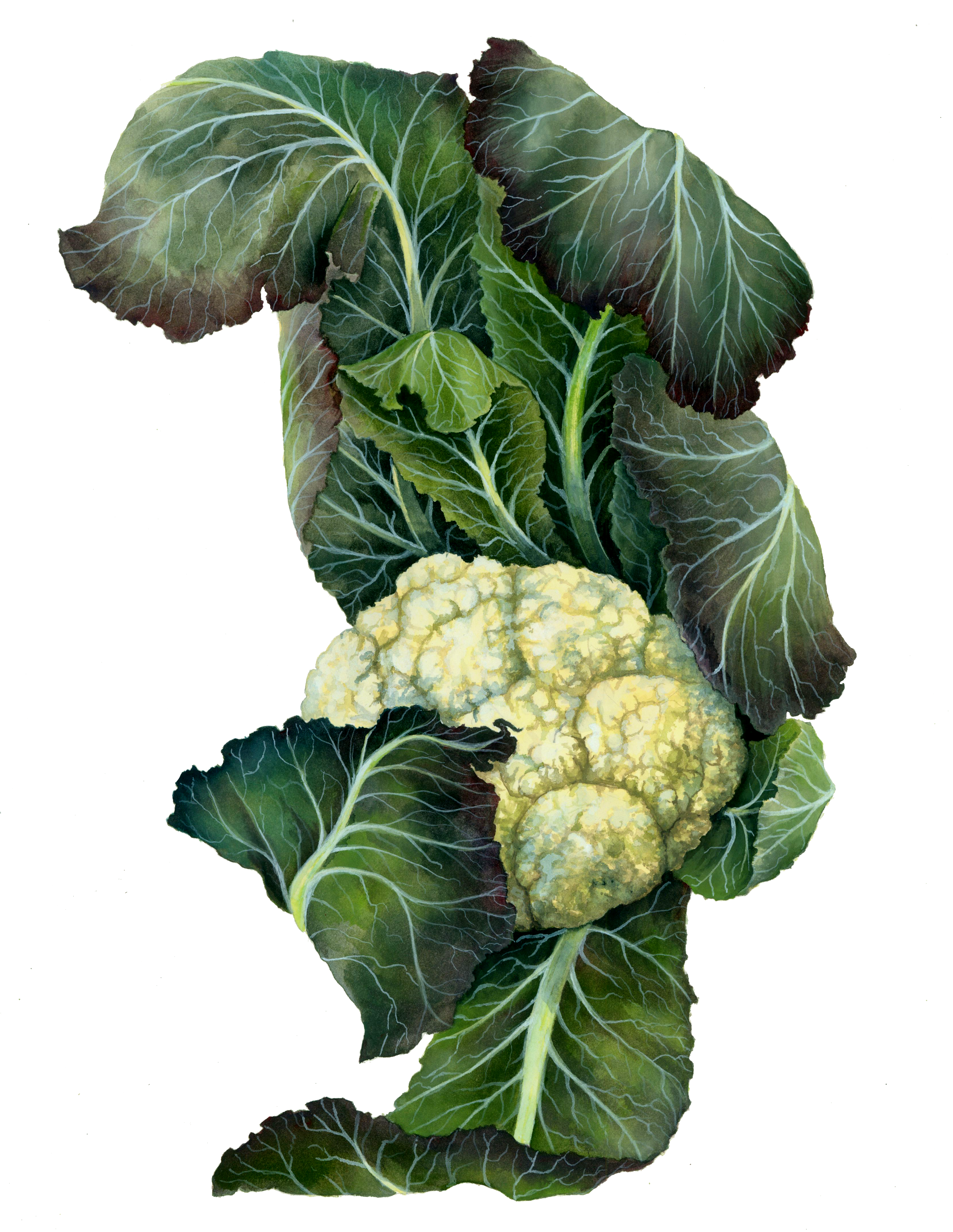 Cauliflower drawing cabbage. By paperspiders on deviantart