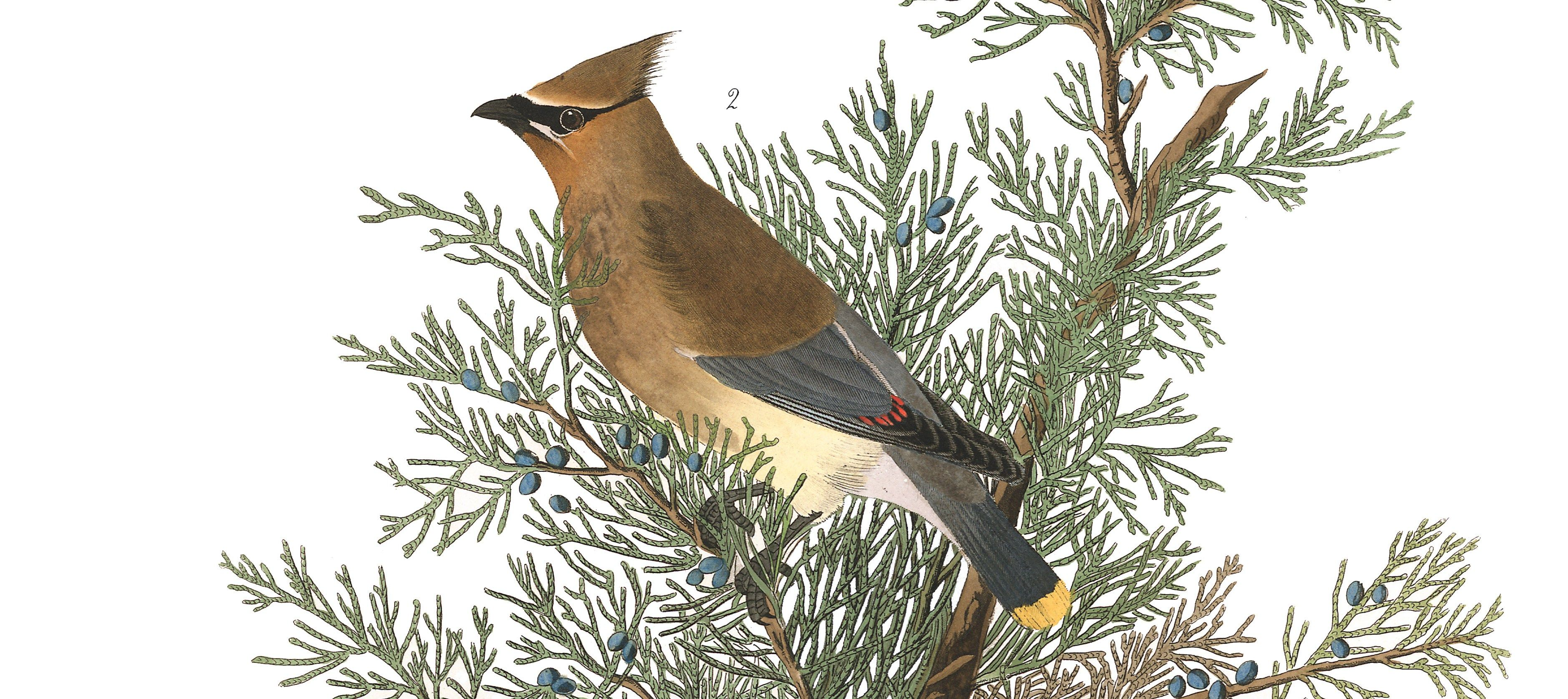 Cedar waxwing. Image result for clipart