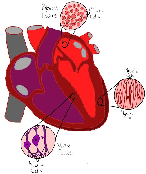 Cell clipart tissue cell. Cells tissues organs
