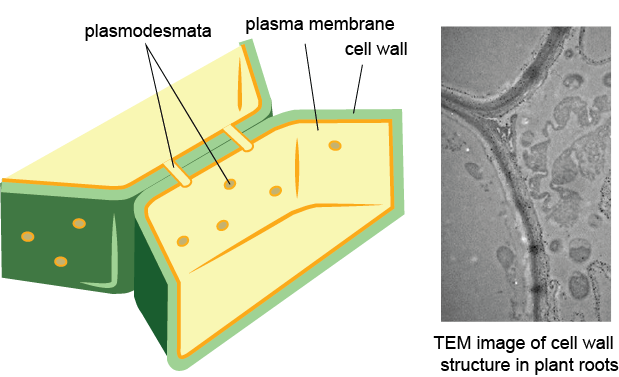 Cell wall png. Biology scavenger hunt while