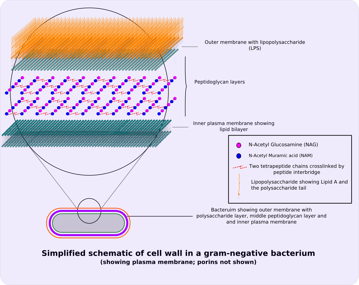 cell wall png