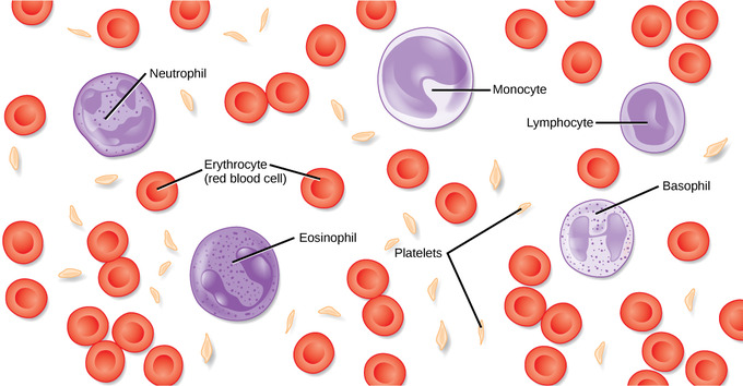 Cells clipart complete blood count. Components of the boundless