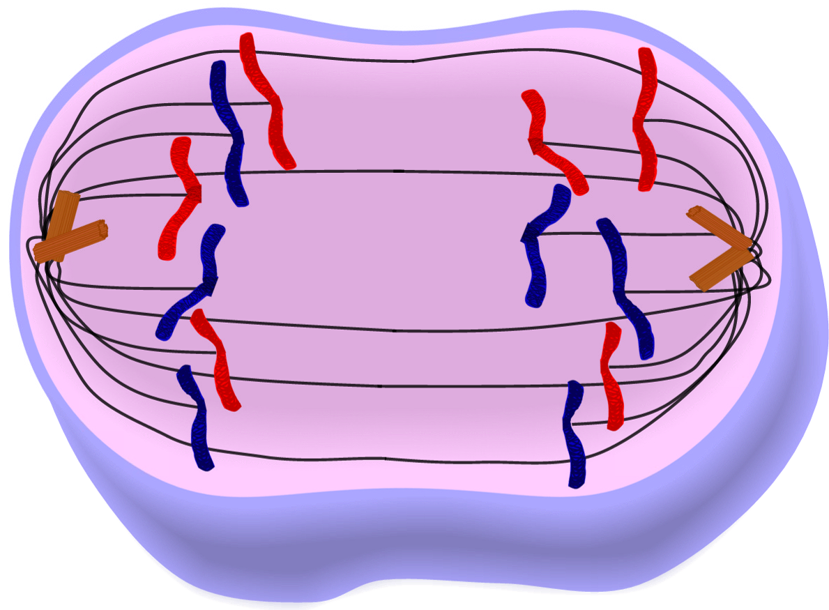 Cells clipart simple. Edupic cell drawings anaphase