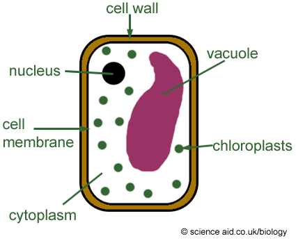 Chromatin drawing plant cell diagram. Simple at getdrawings com
