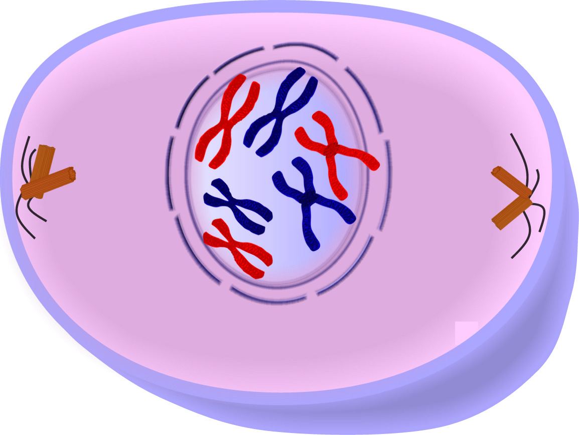 Cytokinesis drawing prophase. Edupic cell drawings of