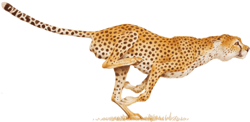 cheetahs drawing basic