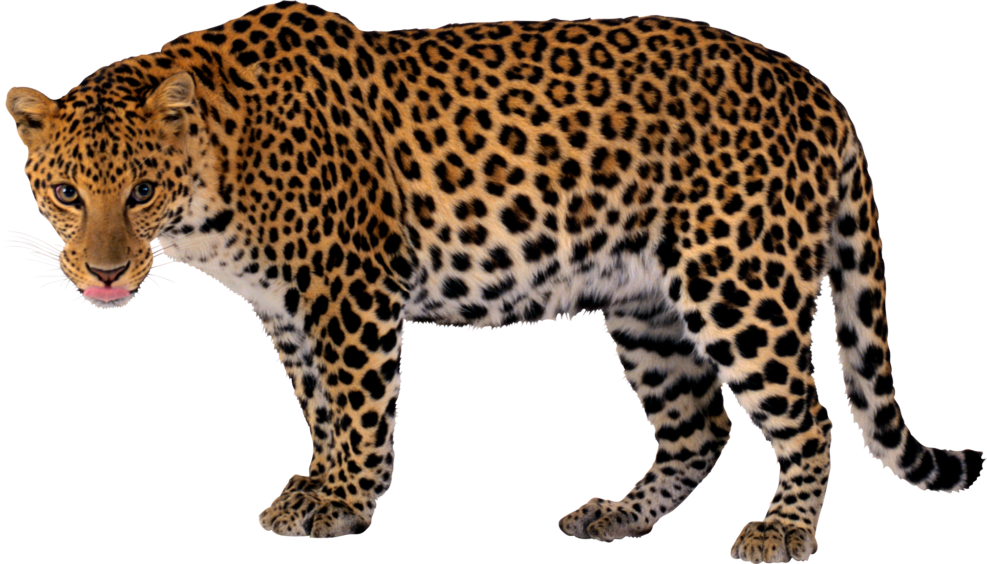 Cheetah face png. Leopard hd transparent images