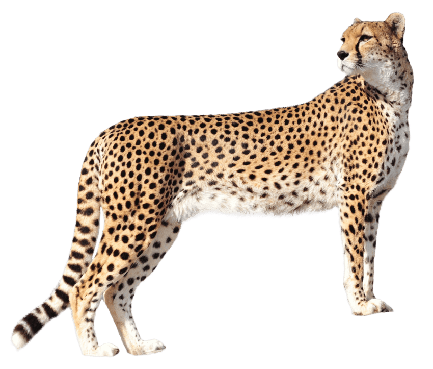 Cheetah png. Free images toppng transparent