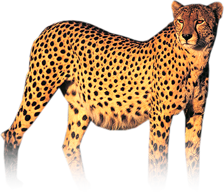 Cheetah png. Transparent images all hd