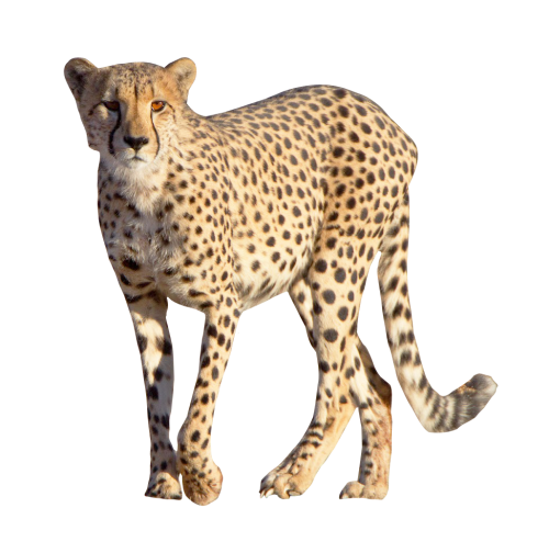 Image pngpix. Cheetah png picture free library