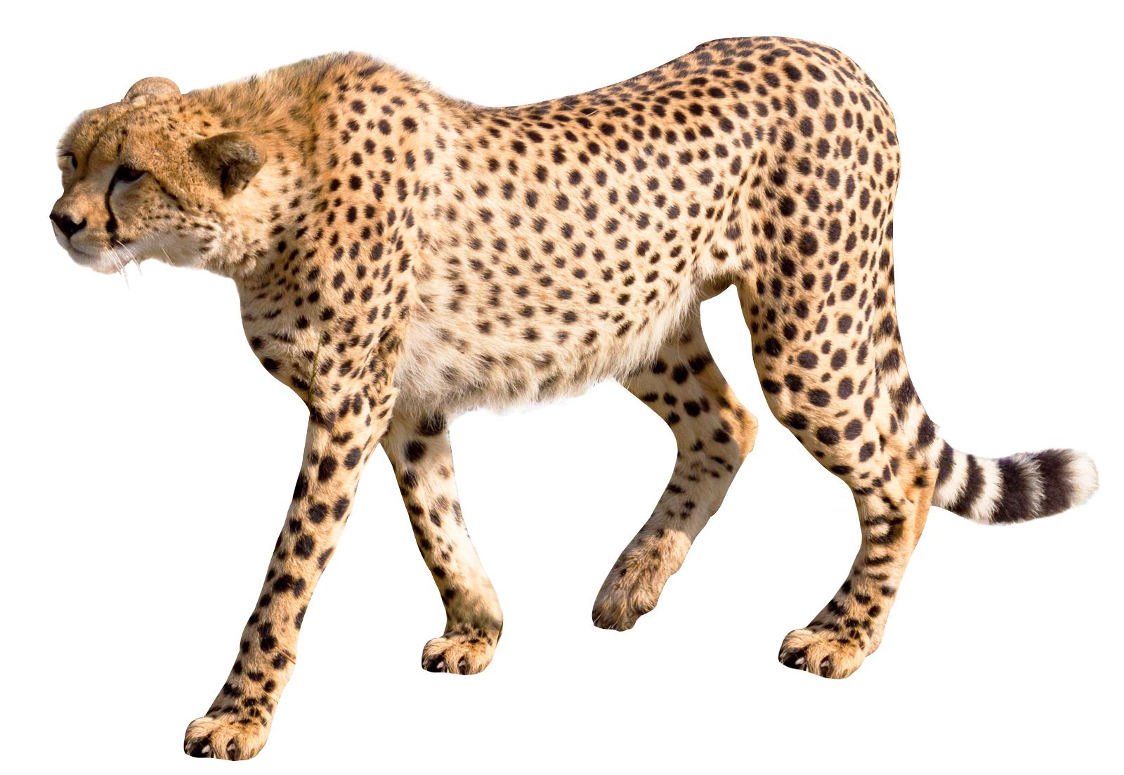 Images pngpix transparent image. Cheetah tag png clipart freeuse library