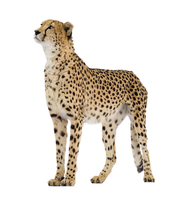 Cheetah transparent png. Picture web icons image