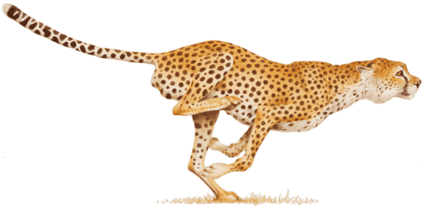 Cheetah transparent png. Free images toppng
