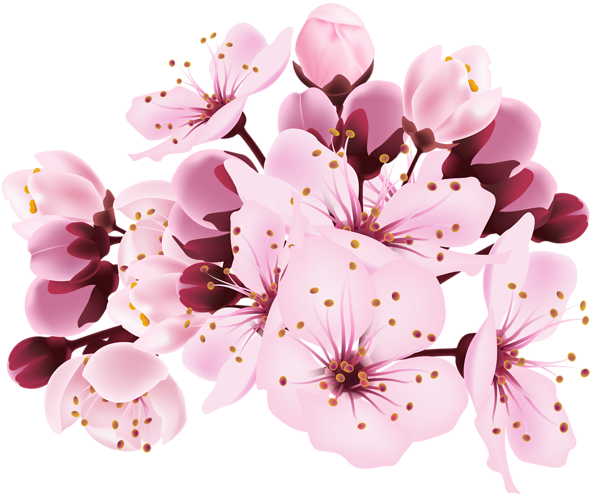 Cherry blossom flower png. Decorative transparent image gallery