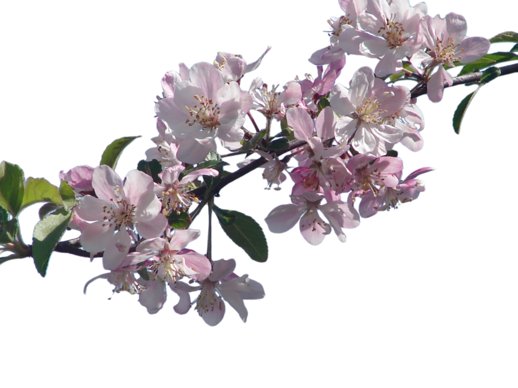 cherry tree branch png