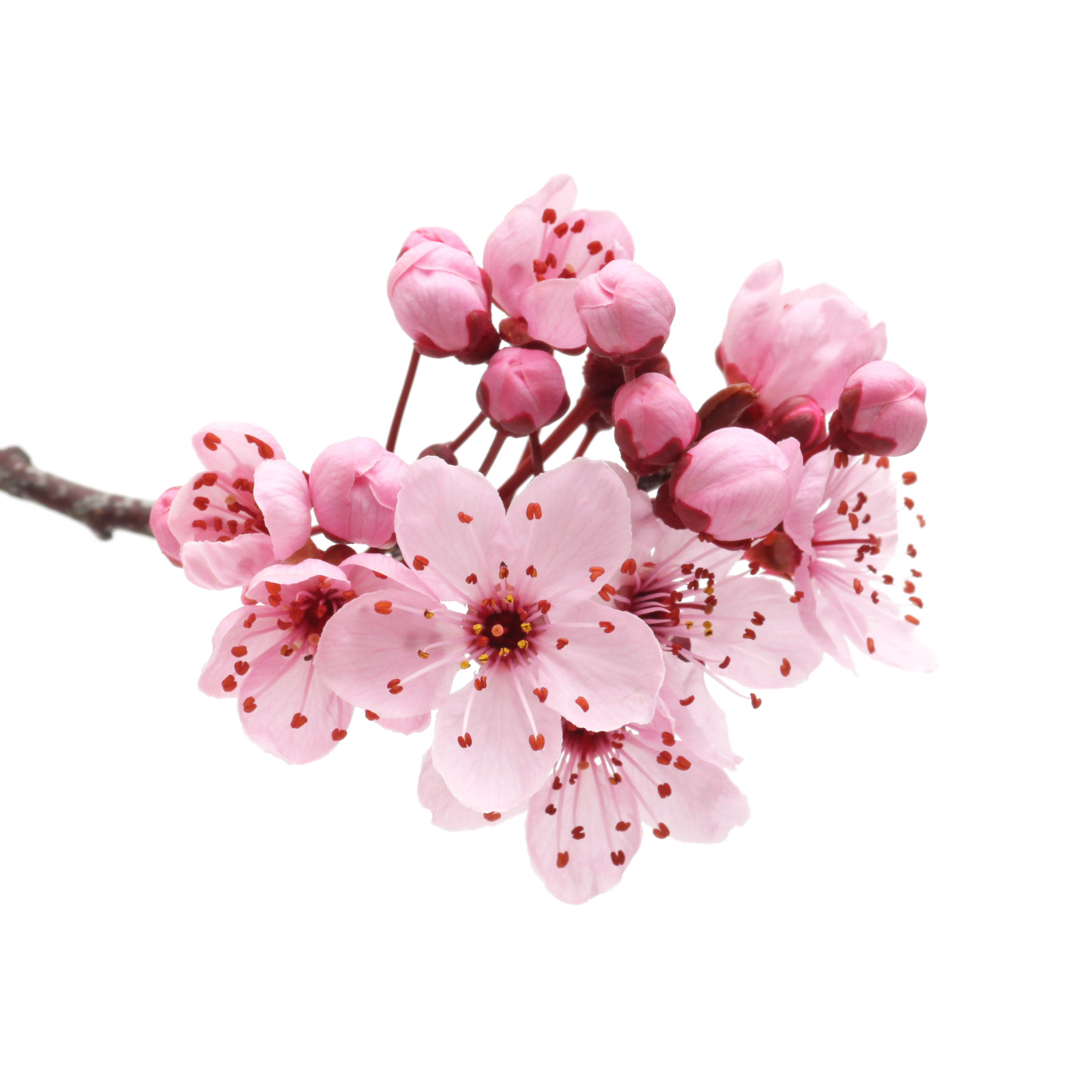 Japanese flowering cherry mart. Flowers transparent png graphic free download