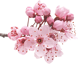 Cherry blossom branch png. Images in collection page