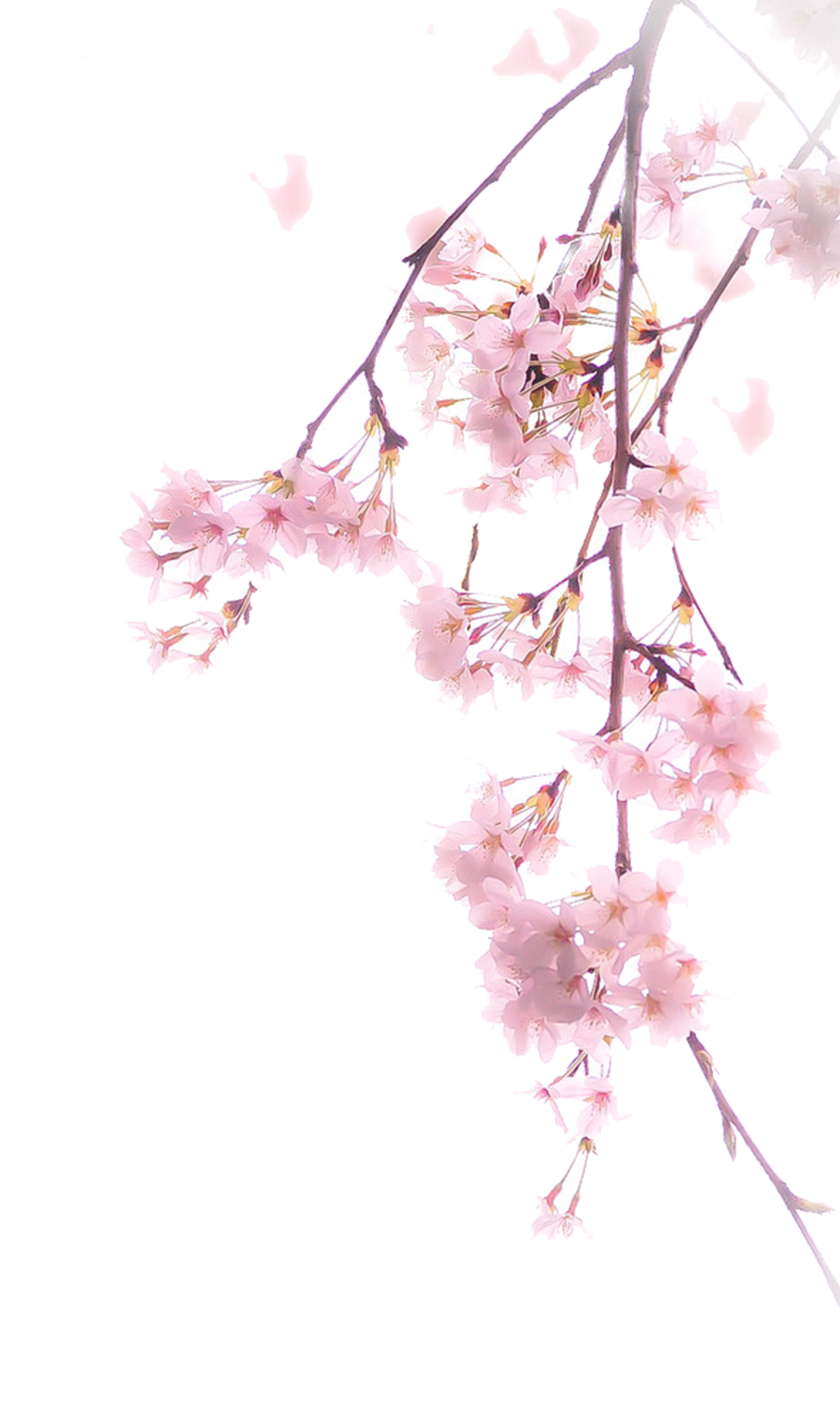 Cherry blossom branch png. Download illustration a transprent