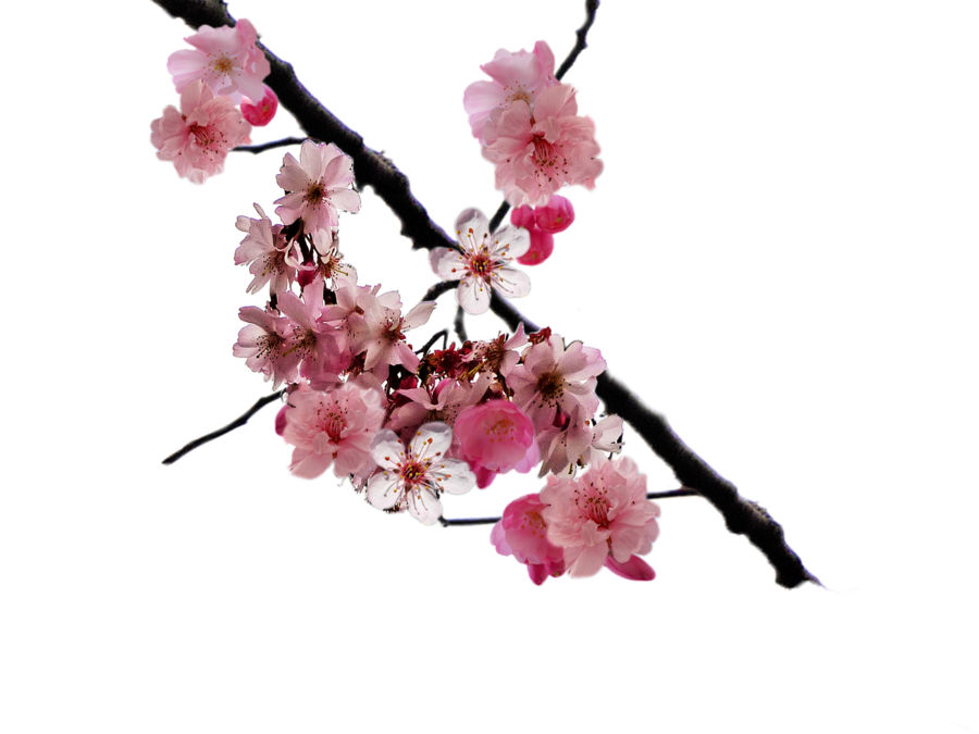 By doloresminette on deviantart. Cherry blossom branch png clipart free