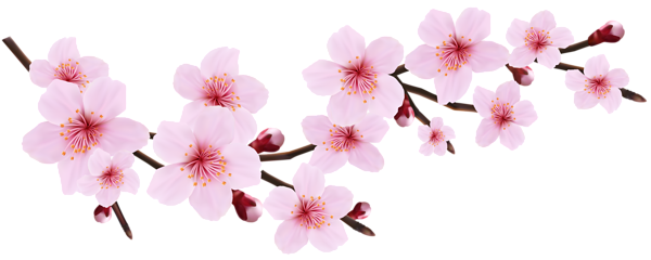 Cherry blossoms png. Blossom spring pink twig