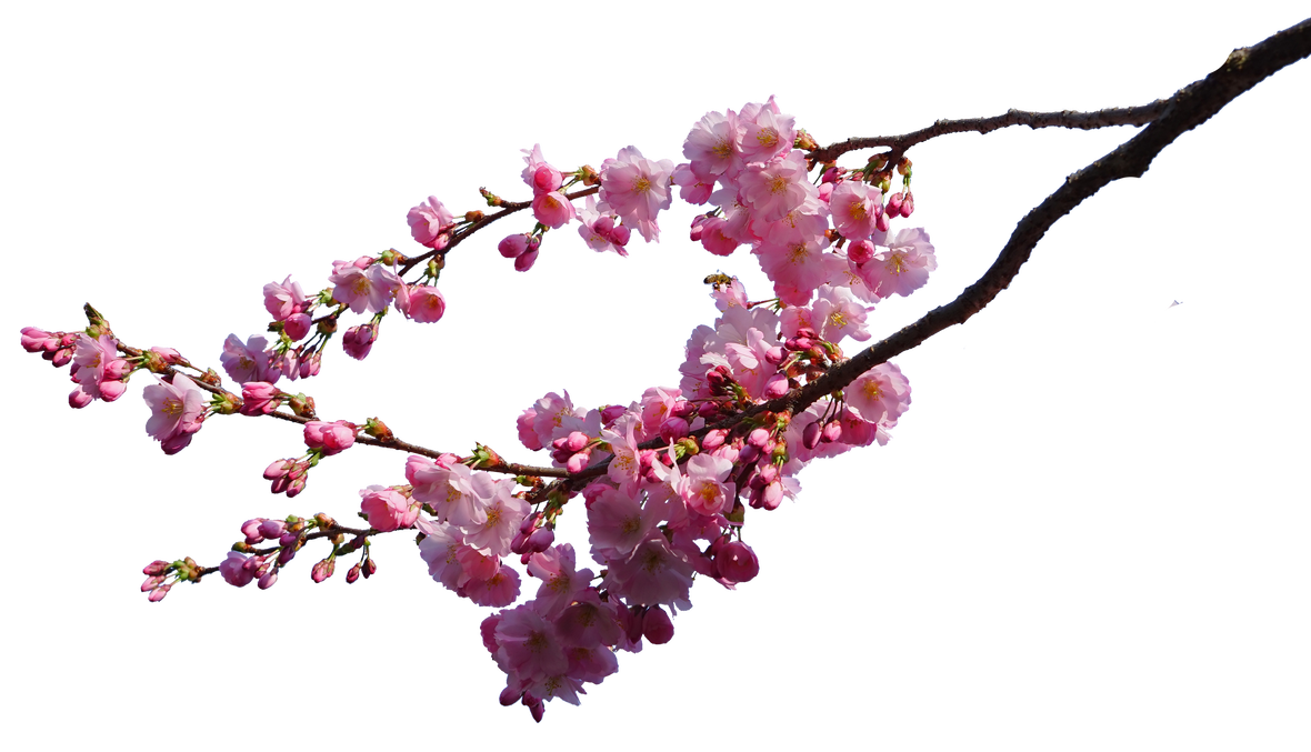 Cherry blossom flower png. Branches stock by astoko